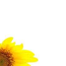 sunflower in corner