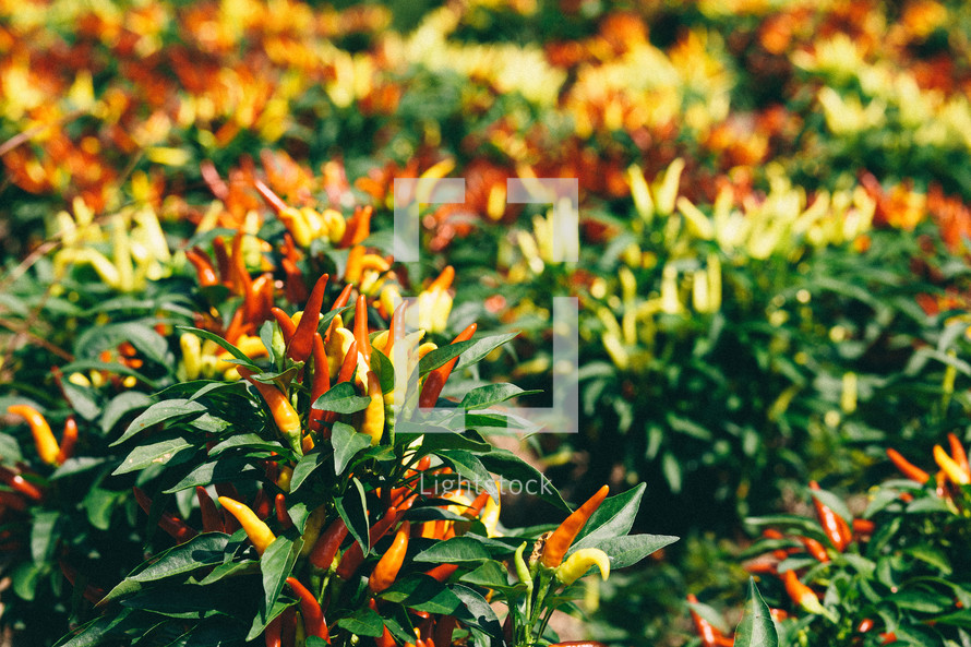 red pepper plants