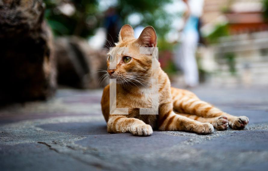 orange cat resting