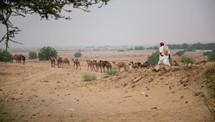 man herding camels