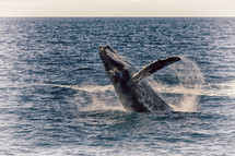 jumping whale