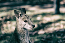wallaby in the outback