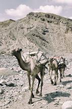 caravan of camels