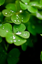 water droplets on clover