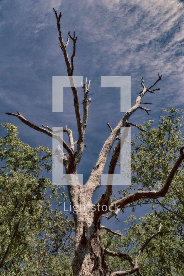 tree in the outback and blue sky