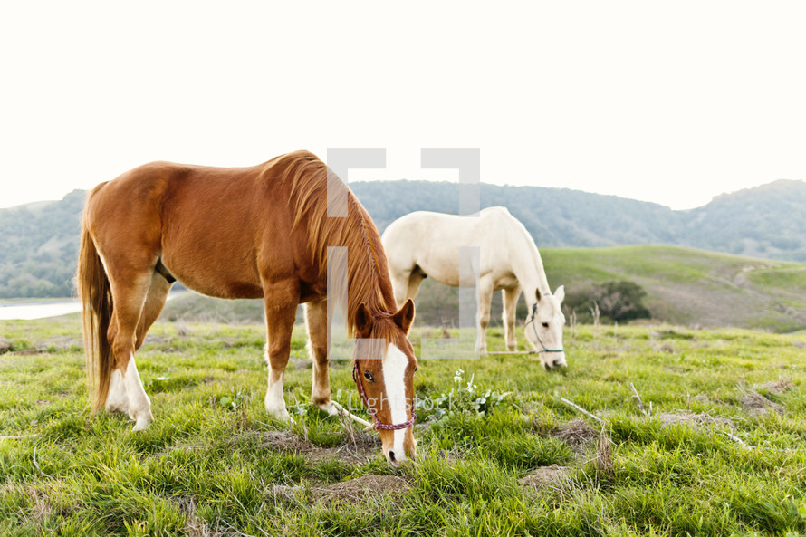 brown & white horses eating on a green grass covered meadow hillside