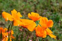 orange California poppies