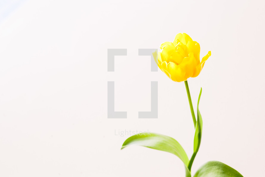 yellow tulip against a white background