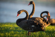 Black geese in the grass by water.
