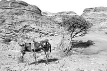 donkey in a desert