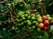 ripe coffee beans