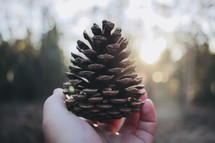 hand holding up a pine cone