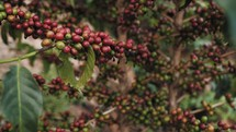 African coffee beans on branches