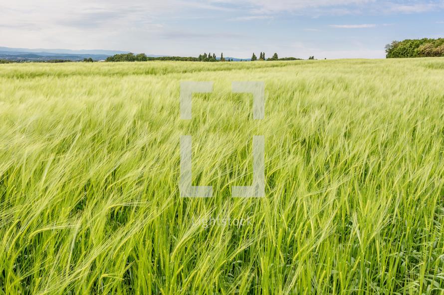 green cornfield in France