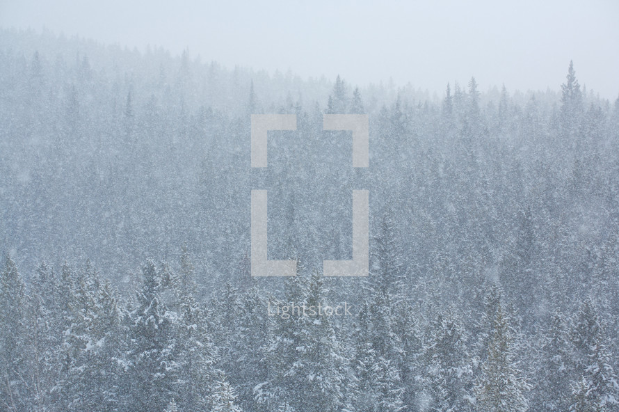 snow covered trees on a hillside - blizzard
