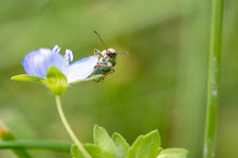 bug on a blue flower