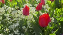 tulips in a flower garden