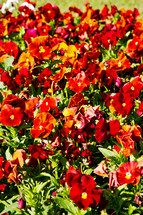 red flowers in a flower bed