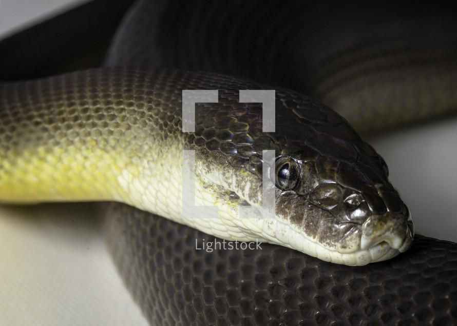 water python