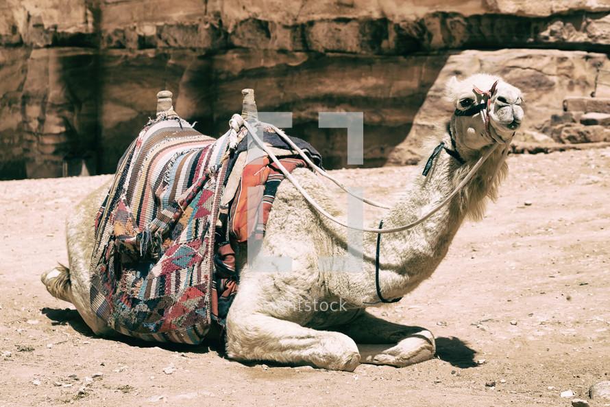 camel resting in a desert