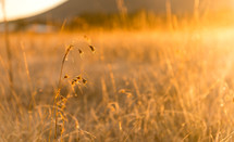 Wildflowers and weeds at sunset.
