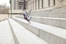 pigeon flying off of stair steps