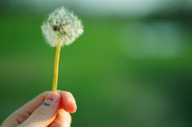 A hand holding a dandelion.