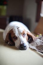 sleeping basset hound dog