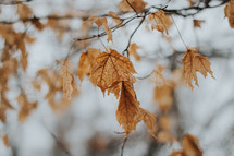 brown fall leaves on a branch