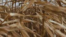 brown corn field