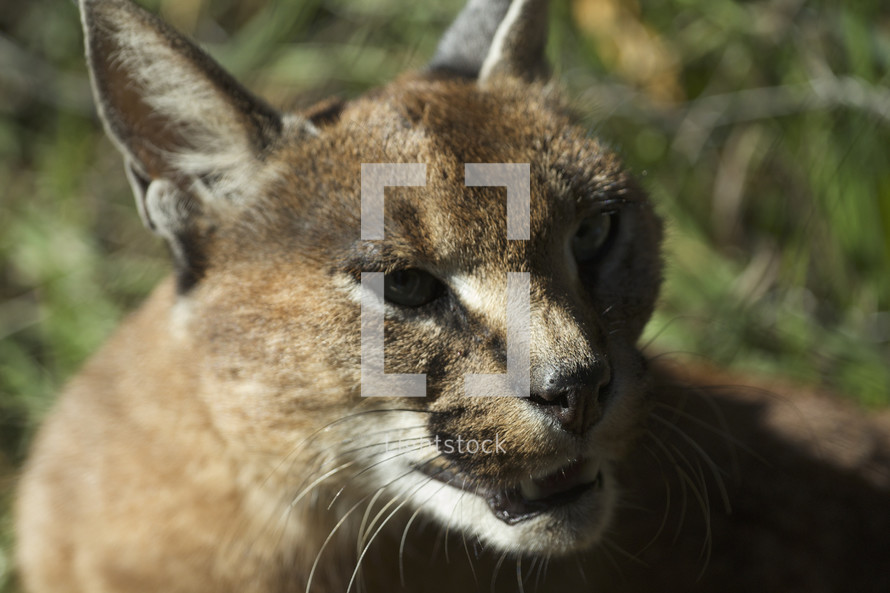 close up of a mountain lion's face