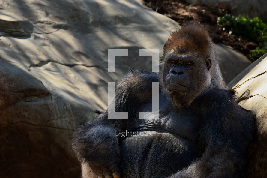 Silverback gorilla stays cools in the shade while contemplating.