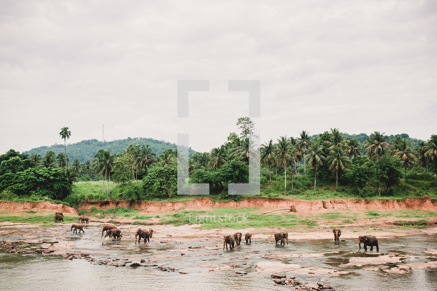 A herd of elephants in a river.