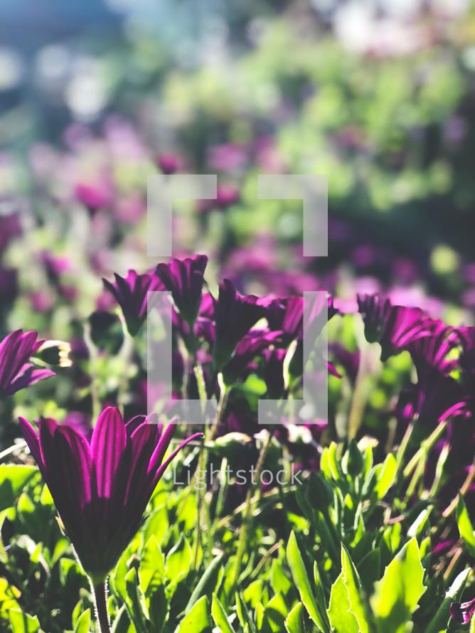 sunlight on purple spring flowers