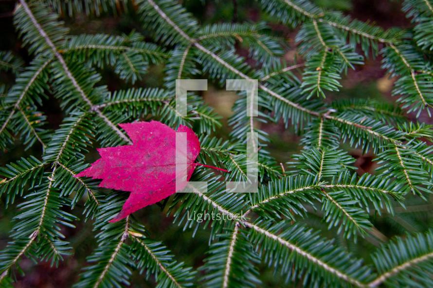 red fall maple leaf on green fraser fir branch