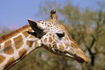 A close-up of a giraffe.