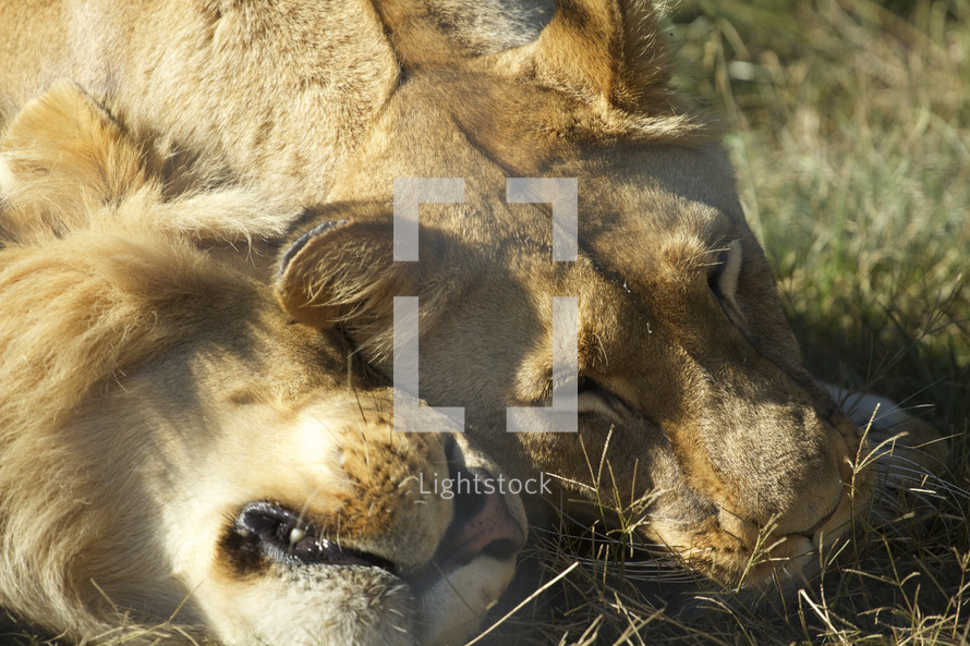 A wild male and female lion nuzzle together in the sunlight.