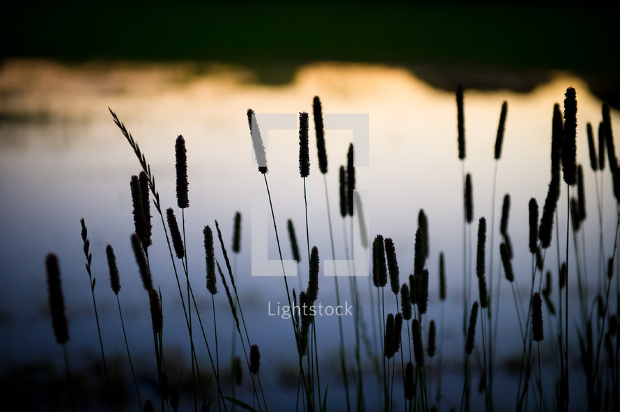 A silhouette of cattails against a body of water.
