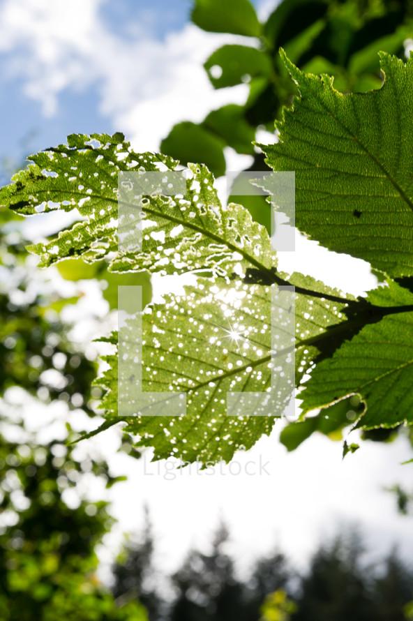 worm eaten  leaves on tree