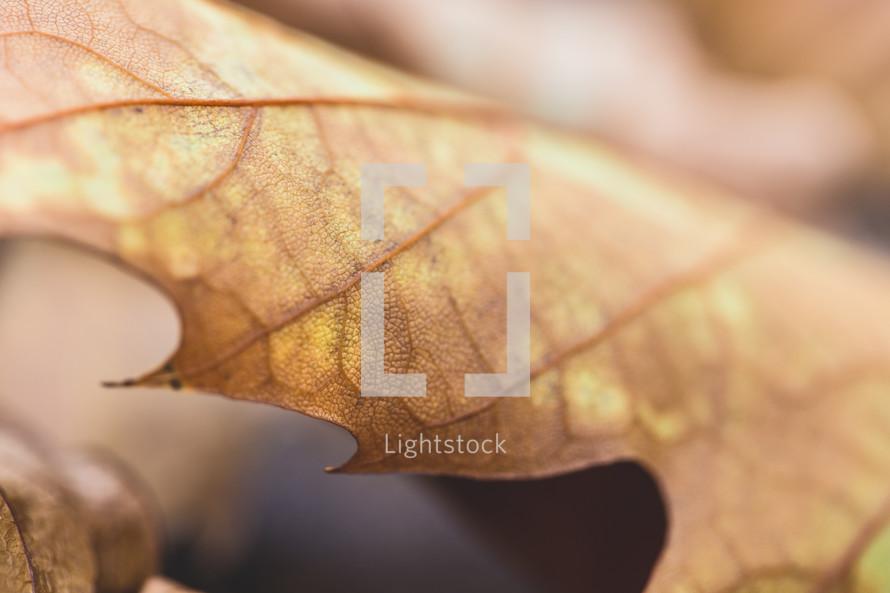 fall leaf macro