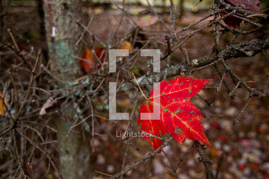 single red fall maple leaf left on a tree branch