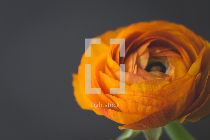 orange flower against a black background