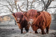 Highlander cows grazing