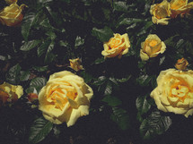 yellow blooming roses