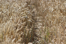 wheat grains ready for harvest