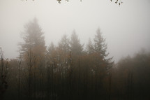 Tall trees in fog.