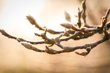 frost on tree buds