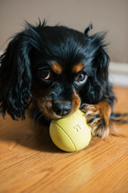 a dog with a ball in it's mouth
