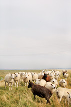 A herd of sheep in a field of grass.