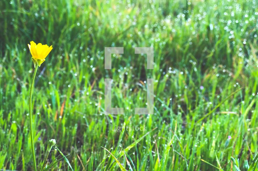yellow flower in wet grass